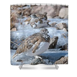 Shower Curtain featuring the photograph Autumn Plumage White-tailed Ptarmigan by Cascade Colors