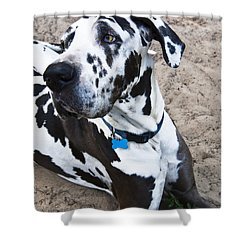 Bacchus The Great Dane Shower Curtain by Sharon Cummings