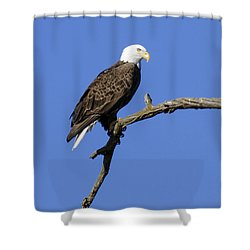 Bald Eagle 4 Shower Curtain by David Lester