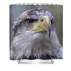 Bald Eagle - Juvenile Shower Curtain