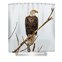 Bald Eagle On A Branch Shower Curtain