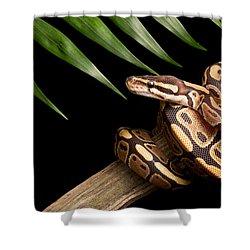 Ball Python Python Regius On Branch Shower Curtain by David Kenny