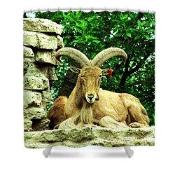 Barbary Sheep 1 Shower Curtain