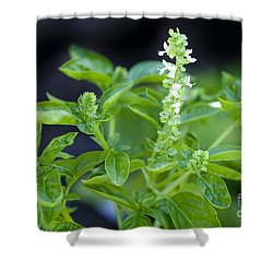 Shower Curtain featuring the photograph Basil With White Flowers Ready For Culinary Use by David Millenheft