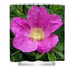 Pink Beach Rose Fully In Bloom Shower Curtain