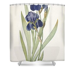 Bearded Iris Shower Curtain by Pierre Joseph Redoute