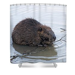 Beaver Chewing On Twig Shower Curtain by Chris Flees