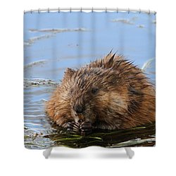 Beaver Portrait Shower Curtain by Dan Sproul
