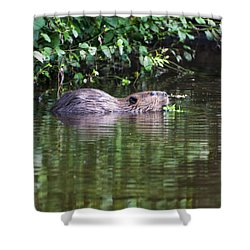 beaver swims in NC lake Shower Curtain by Chris Flees