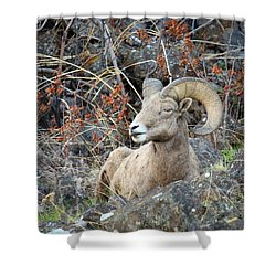 Shower Curtain featuring the photograph Bedded Bighorn by Steve McKinzie