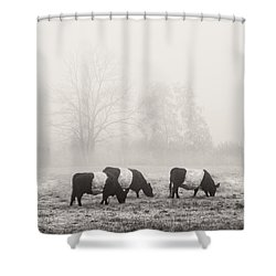 Belted Galloway Cows On Foggy Farm Field In Maine Shower Curtain