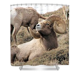 Big Bighorn Ram Shower Curtain