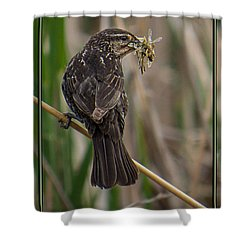 Shower Curtain featuring the photograph Big Dinner For Female Red Winged Blackbird II by Patti Deters