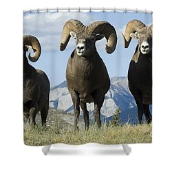 Big Horn Sheep Shower Curtain by Bob Christopher