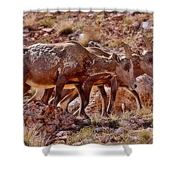 Shower Curtain featuring the photograph Bighorn Canyon Sheep Trio by Janice Rae Pariza