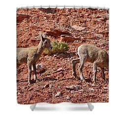 Shower Curtain featuring the photograph Bighorn Canyon Sheep Wyoming by Janice Rae Pariza