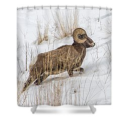 Bighorn In Yellowstone Shower Curtain