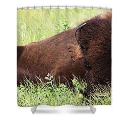 Bison Nap Shower Curtain
