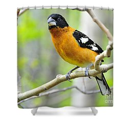 Blach-headed Grosbeak Shower Curtain