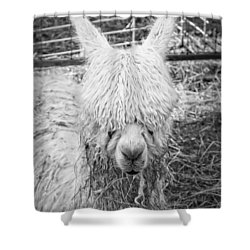 Black And White Alpaca Photograph Shower Curtain by Keith Webber Jr