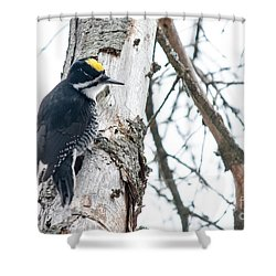 Black-backed Woodpecker Shower Curtain by Cheryl Baxter