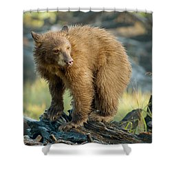 Black Bear Shower Curtain by Doug Herr