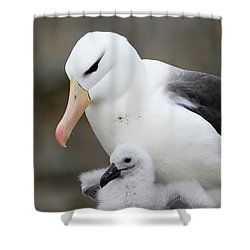 Black-browed Albatross And Chick Shower Curtain by Suzi Eszterhas