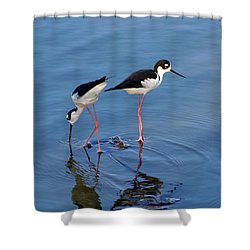 Black-necked Stilts Shower Curtain by Bob and Jan Shriner