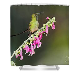 Black-tailed Train-bearer Hummingbird Shower Curtain by Dan Suzio