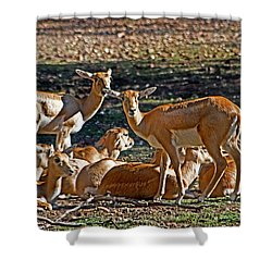 Blackbuck Female And Fawns Shower Curtain