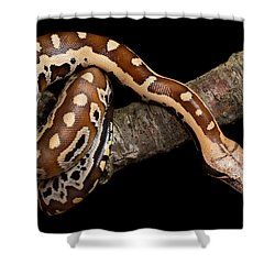 Blood Python Python Brongersmai Shower Curtain by David Kenny