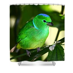 Blue Crowned Chlorophonia Shower Curtain by James Brunker