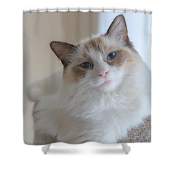 Shower Curtain featuring the photograph Blue-eyed Ragdoll Kitten by Peta Thames