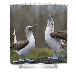 Blue-footed Boobies Courting Galapagos Shower Curtain by Tui De Roy