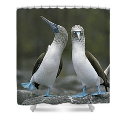 Blue Footed Booby Dancing Shower Curtain by Tui De Roy