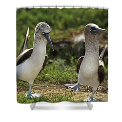 Blue-footed Booby Pair In Courtship Shower Curtain by Tui De Roy