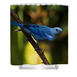 Blue Grey Tanager Shower Curtain by Chris Flees