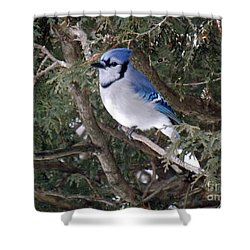 Shower Curtain featuring the photograph Blue Jay In The Cedars by Brenda Brown