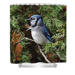 Shower Curtain featuring the photograph Blue Jay In Cedar Tree 2 by Brenda Brown