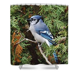 Shower Curtain featuring the photograph Blue Jay In Cedar Tree by Brenda Brown