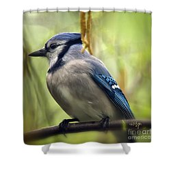 Blue Jay On A Misty Spring Day - Square Format Shower Curtain by Lois Bryan