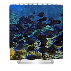 Blue Tangs Shower Curtain by Carey Chen
