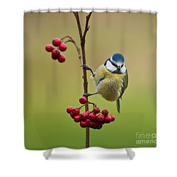 Blue Tit With Hawthorn Berries Shower Curtain by Liz Leyden