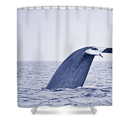 Blue Whale Tail Fluke With Remoras Shower Curtain by Liz Leyden
