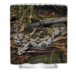 Boa Constrictor Shower Curtain by Francesco Tomasinelli