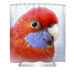 Bobby The Crimson Rosella Shower Curtain by Terri Waters