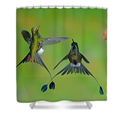 Booted Racket-tail Hummingbird Males Shower Curtain by Anthony Mercieca