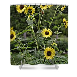 Shower Curtain featuring the photograph Bright Sunflowers by Denise Romano