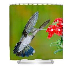 Broad-billed Hummingbird Shower Curtain by Anthony Mercieca