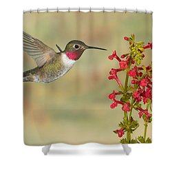 Broad-tailed Hummingbird 5 Shower Curtain